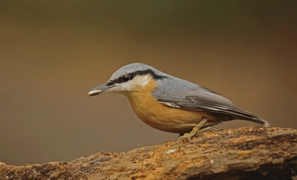 Stocking up ,Nuthatch by J_Caswell