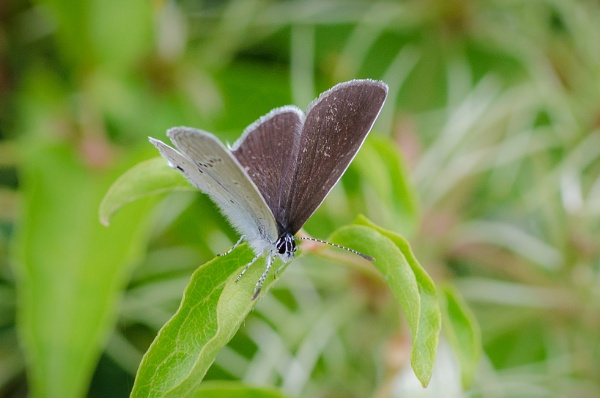Small Blue - Cupido minimus by chavender