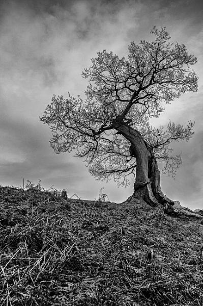 Lone Tree by vivdy