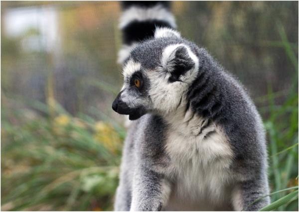 Lemur by Fred263