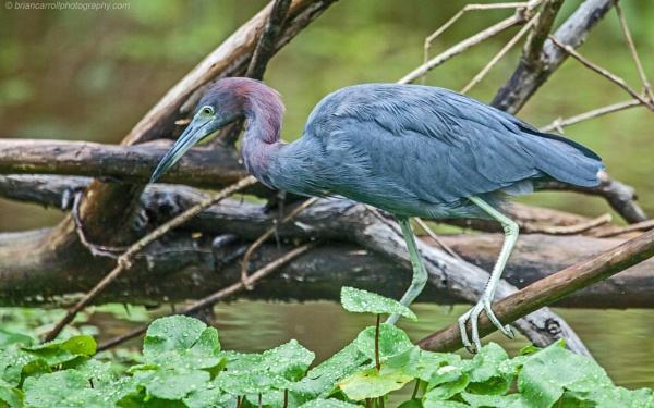 "Little Blue Heron  \""Egretta Caerulea\"", Tortuguero, Costa Rica by brian17302"