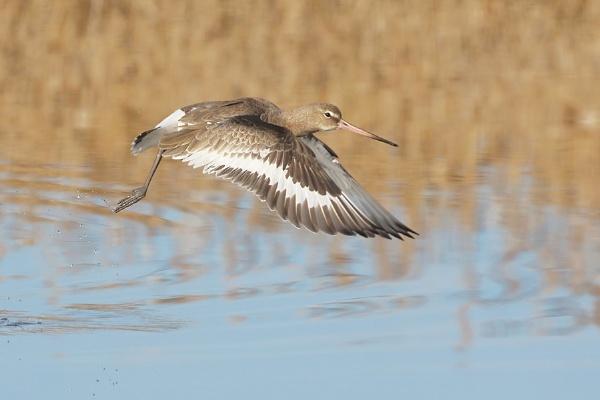 Black-tailed Godwit by jm1