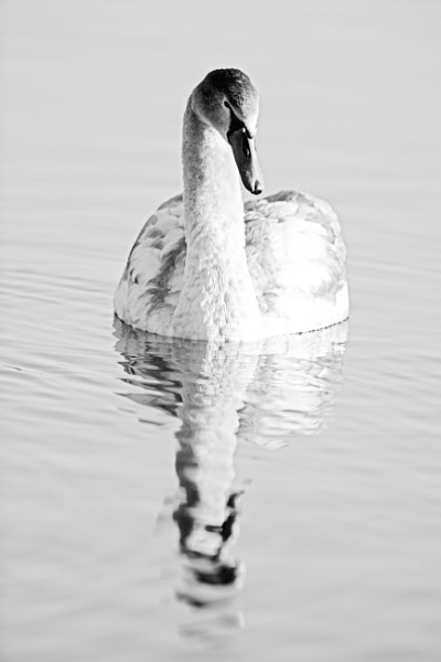 SWan by stu8fish