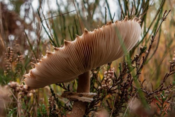 Parasol mushroom (Macrolepiota procera) by chataignier