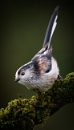 Long-tailed Tit by ABPhotosUK