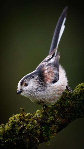 Long-tailed Tit by ABPhotosUK