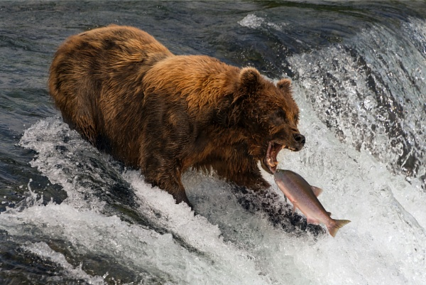 Bear about to catch salmon in mouth by NickDale