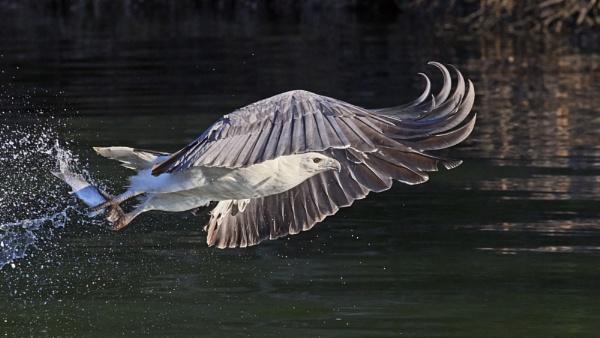 Sea Eagle fishing by Lance_B