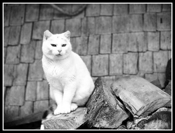 Farm Cat by hrsimages
