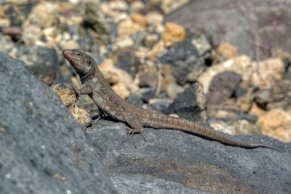 Haria Lizard by Wanilson