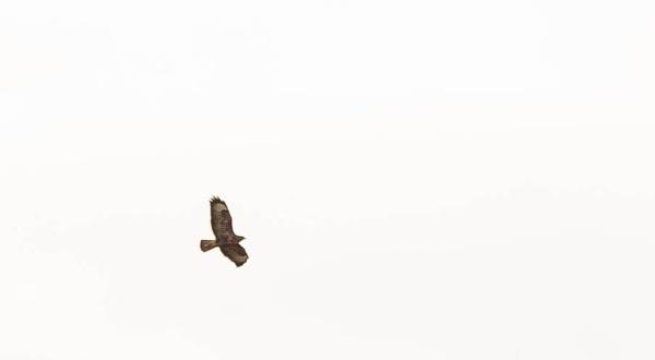 soaring Buzzard by peterjay80