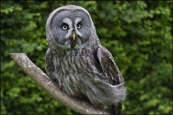 Great grey owl by rickie
