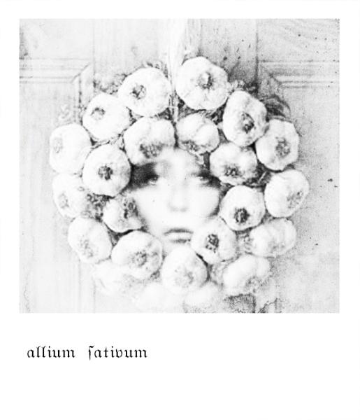 allium sativum by lostrita