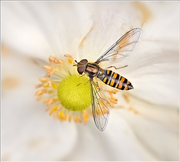 November Hover-fly. by bricurtis