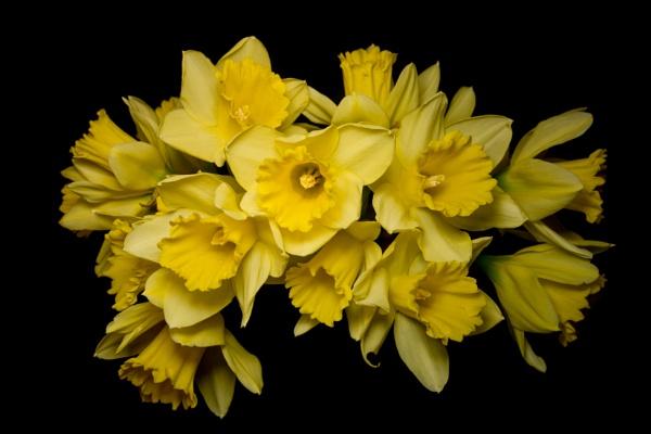 Daffodils by cardiffgareth