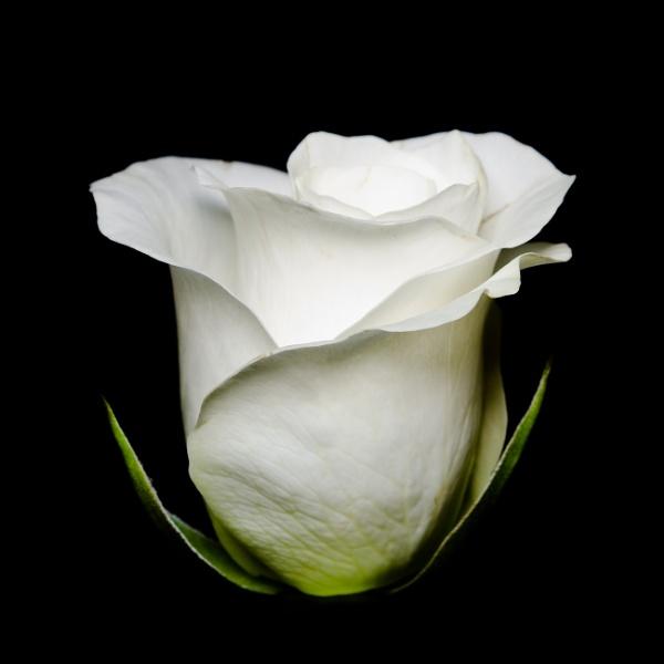 Rose by cardiffgareth