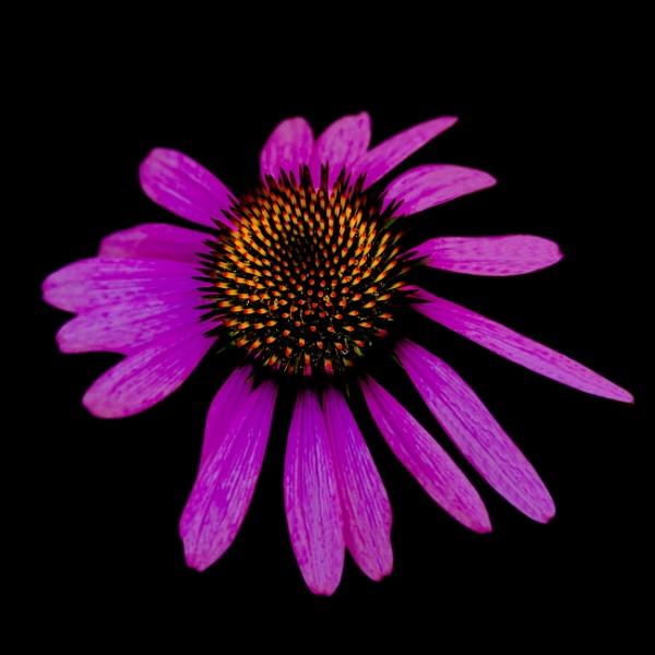 Pink Flower by cardiffgareth