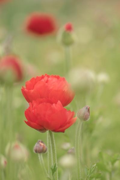 Poppies  by cardiffgareth