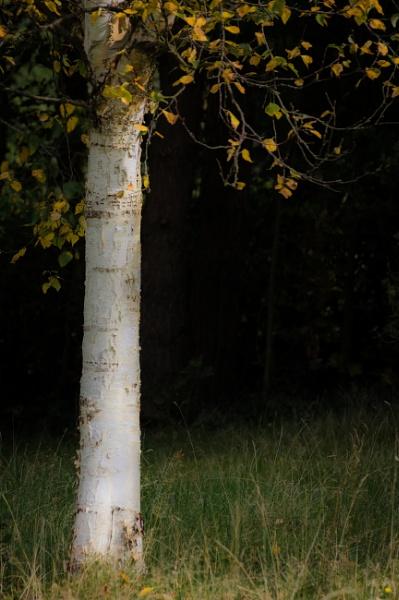 Silver Birch by cardiffgareth