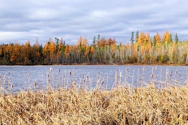 Tamarack and Reeds by Joline
