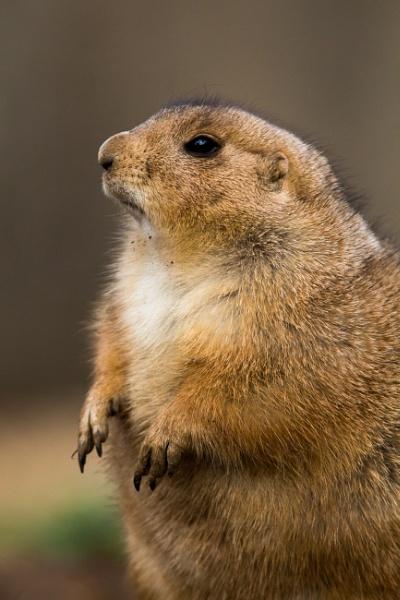 Prairie dog by oldgreyheron