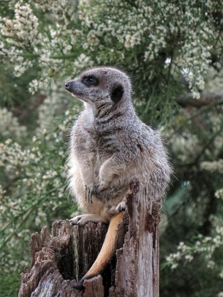 Meerkat by oldgreyheron