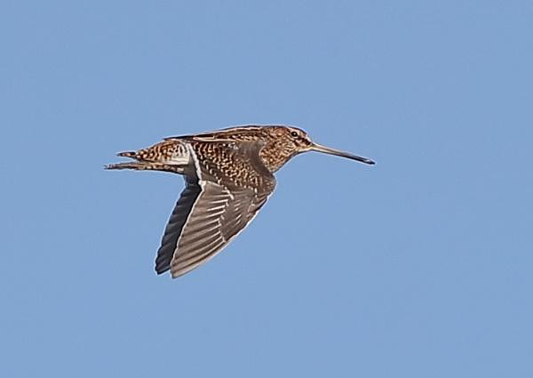 Snipe in Flight