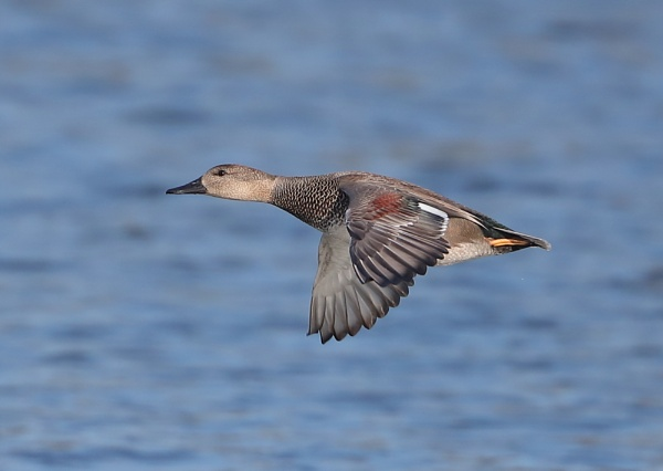 Gadwall in Flight by NeilSchofield