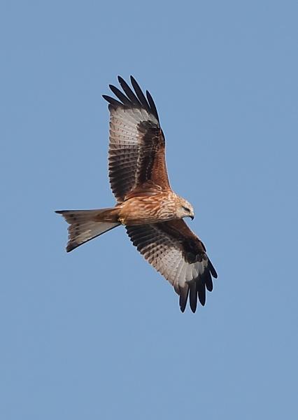 Red kite in Flight by NeilSchofield