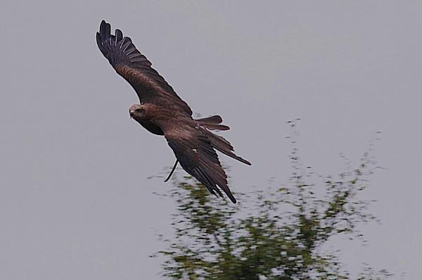 Harris Hawke in flight by stevept