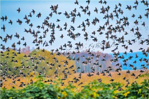 Starlings at Hamwall by mjparmy