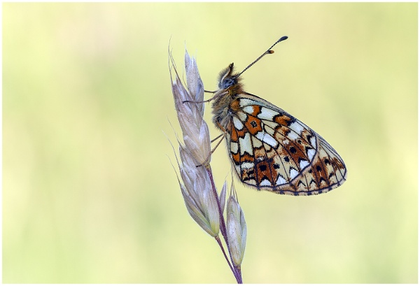 Small Pearl Bordered Fritillary by NigelKiteley