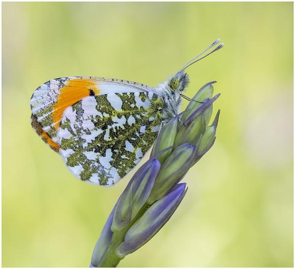 Orange Tip by NigelKiteley