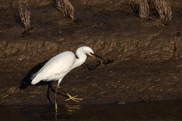 Little Egret (Egretta garzetta) with prey
