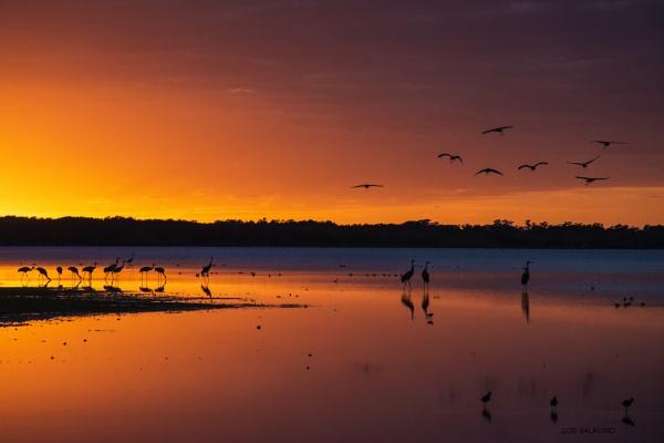A gathering of sandhill cranes by jbsaladino