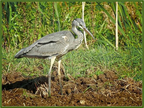 Heron in a field