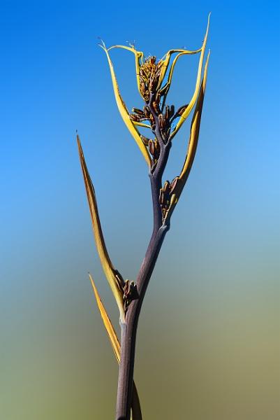 Mini flax flower (0002)x by paulknight