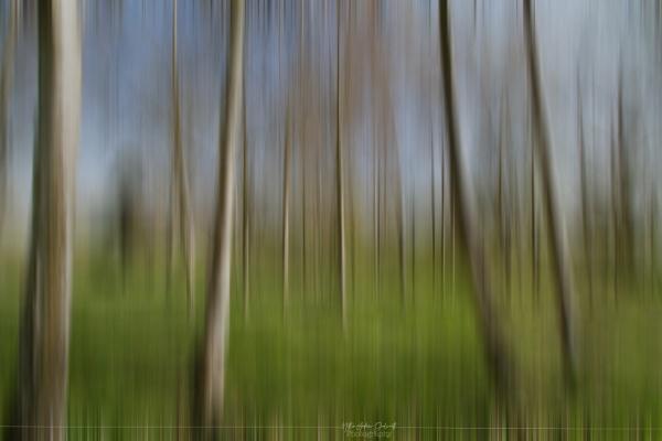 Silver Birch by NDODS