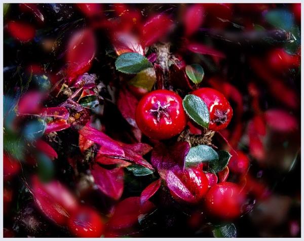 Autumn in the garden  cotoneaster berries by derekp