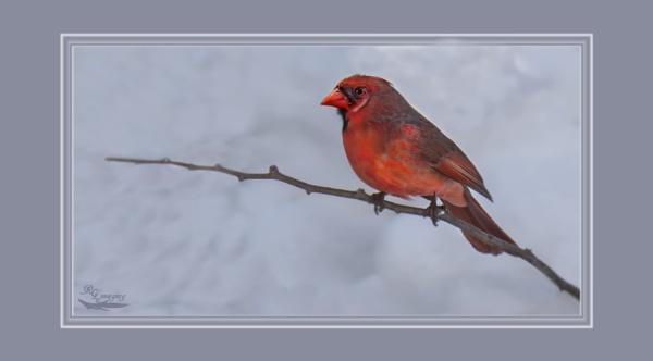 Cardinal by rgg