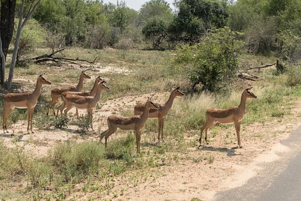 Alert Impala by vivdy
