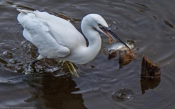 Egrets successful catch by brian17302