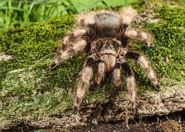 Tarantula by brian17302