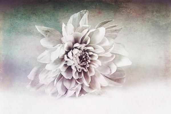 Chrysanthemum my way by deavilin