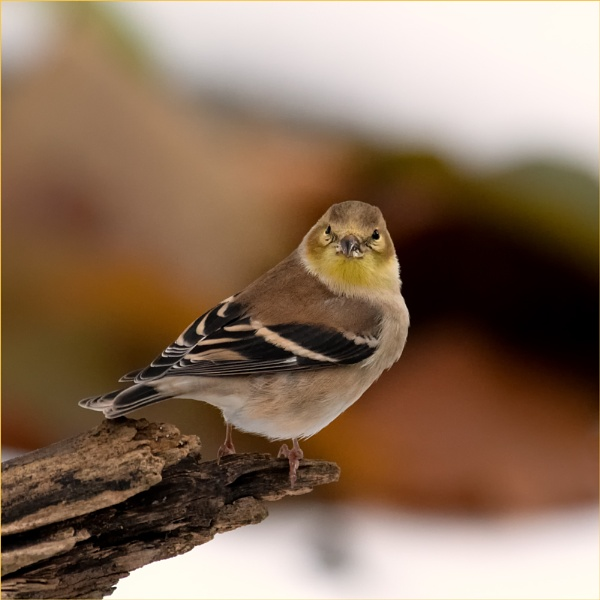 American Goldfinch by taggart