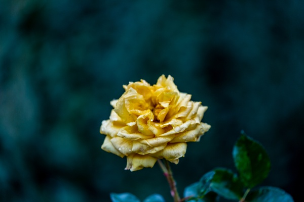 Rose with water drops by rninov