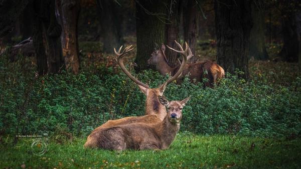 Deer at Lotherton