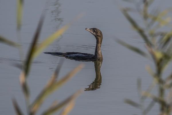 Pygmy cormorant by robert61
