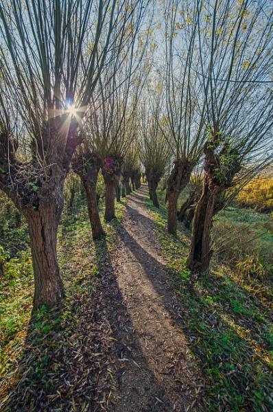 Pollard Willows