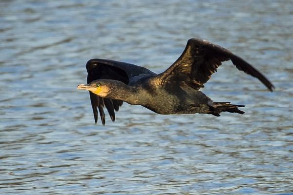 Cormorant BIF by chensuriashi